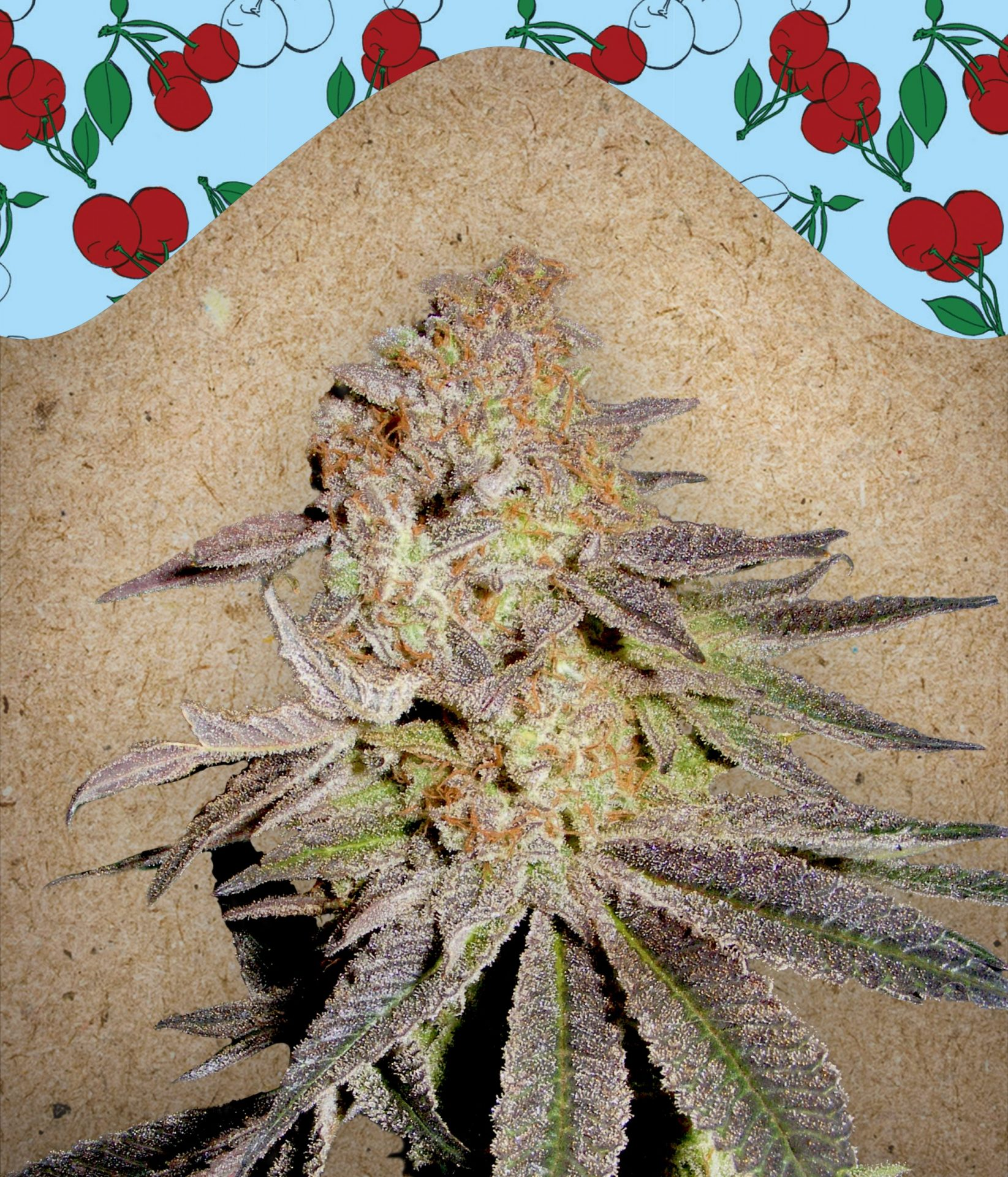 Female Seeds Cherry Pie