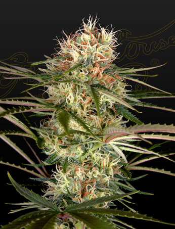Green House Seeds Exodus Cheese x Jack Herer x NL5