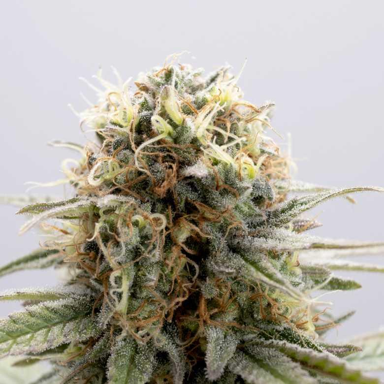 Kannabia Seed Company GSC