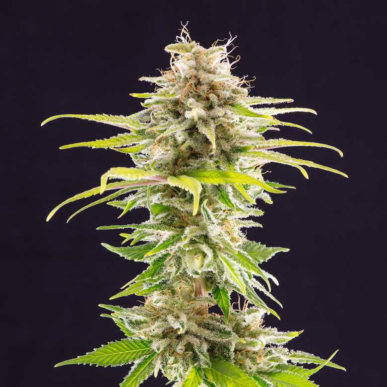Kannabia Seed Company Super Og Kush