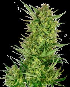 Sensi Seeds Buttercream Gelato